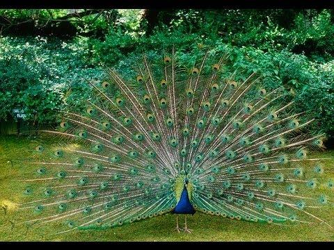 Peacocks of Brownsea Island