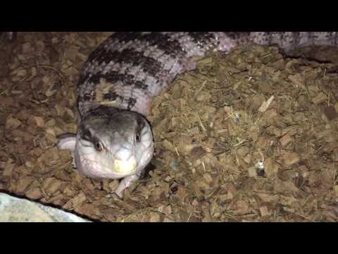 Blue Tongue Skink Pregnant