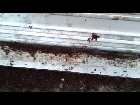 Rasberry Ants