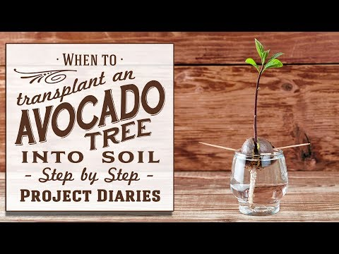 ★ When to: Transplant an Avocado Tree into Soil (An Update & More Info)