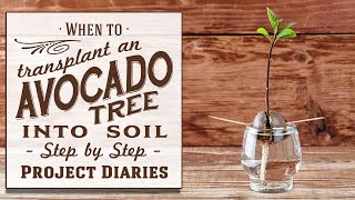 ★ When to: Transplant an Avocado Tree into Soil or Pot on in a Container (An Update \u0026 More Info)