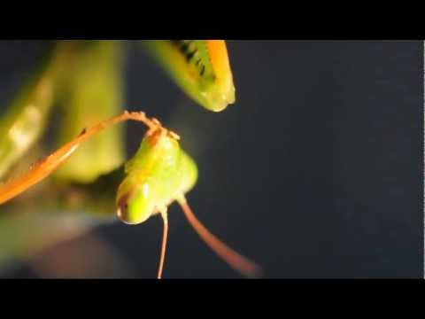 Praying Mantis Stalking, Catching, Eating a Fly