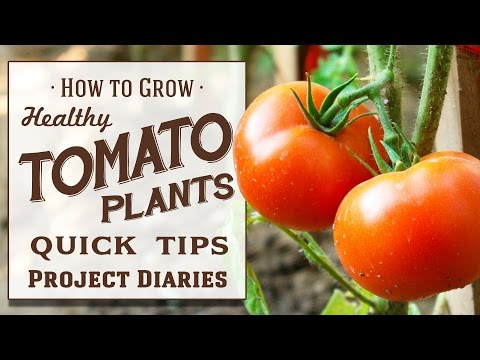 ★ How to: Grow Healthy Tomato Plants (12 Quick Tips & A Complete Step by Step Guide)