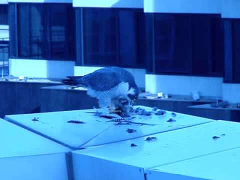 Pergrine Falcon Eating a Bird in Downtown Silver Spring