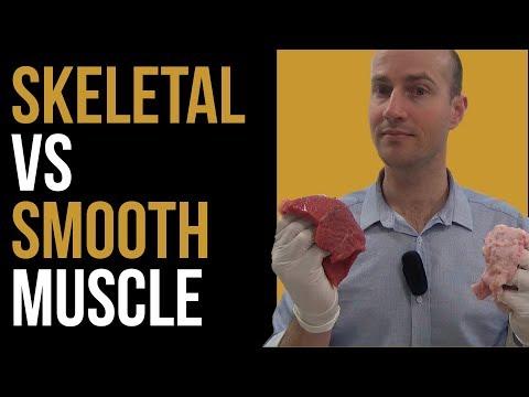 Smooth Muscle vs Skeletal Muscle