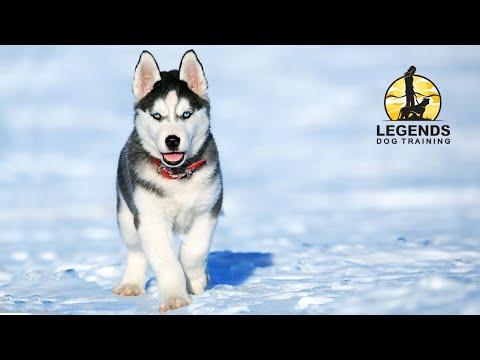 Siberian Husky Puppy: Leash Training