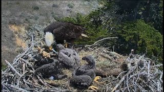 Sauces Channel Island Eagle Cam ~ Youngest Eaglet Swallows Fish Whole  4.18.18