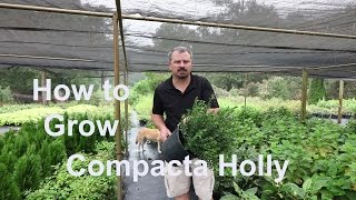 How to grow Compacta Hollies with detailed description