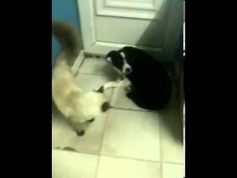 Ragdoll cat  owns dog
