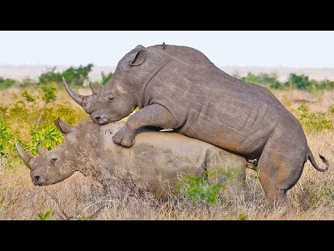 Xxx Mp4 Rhinos Mating In Front Of Tourists 3gp Sex