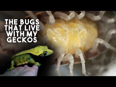 GIANT ISOPODS & CENTIPEDES... My Gecko's Clean Up Crew!