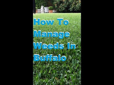 How To Manage Weeds In Buffalo Grass - What You Need To Know Before Spraying A New [Buffalo Lawn]