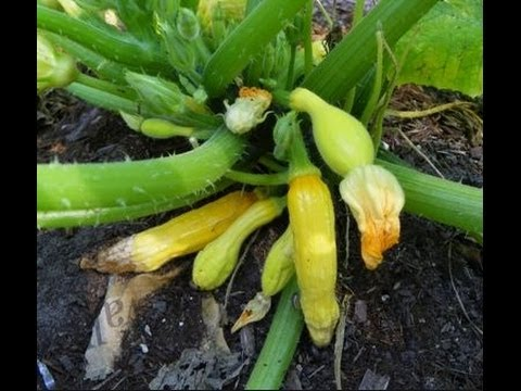 Common Problems of Zucchini and Squash Plants in Urban Patio / Container Garden