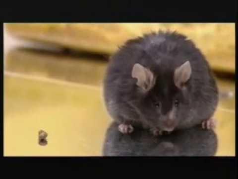 GM 'Knockout' Mice