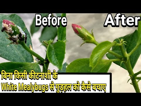 Easiest way to control White Mealybugs on Hibiscus :: without any pesticides