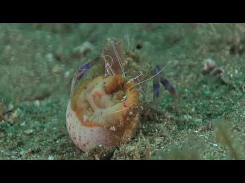 Anemone hermit crab getting into a shell with a cloak anemone