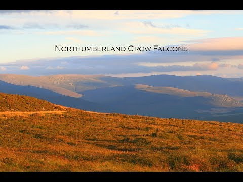 Falconry 5 | Northumberland Crow Falcons