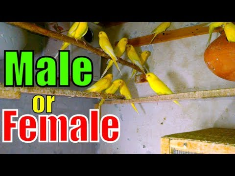 How to Define Male and Female Birds | Red Eye Budgies Family