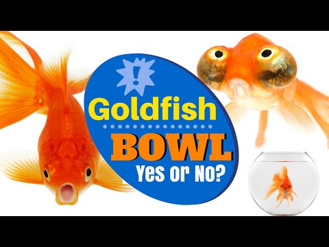 Can I keep my Goldfish in a Glass Bowl | #Goldfish myth Debunked