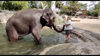 Asian elephant Burma is enjoying a pool-side scrub!