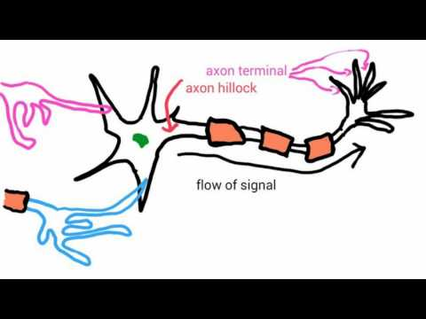 Difference Between Neural and Neuronal