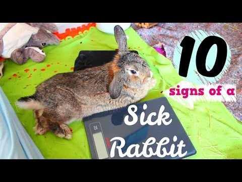 10 Signs that Your Rabbit is Sick