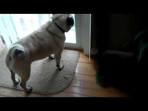 Pug Scratching at the Door, then Yawning