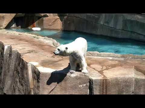 Milwaukee County Zoo - Snow Lilly the Polar Bear!
