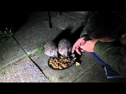 Hedgehog Street: Hedgehog Champion Grahame Ritchie gets up close to wild hedgehogs on his garden.