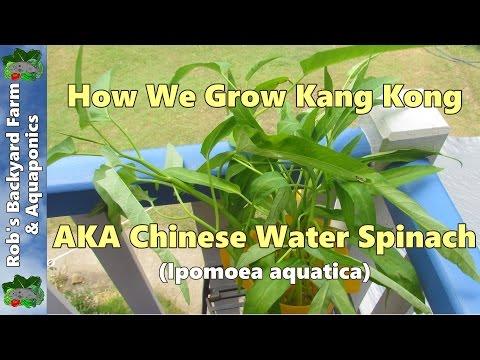 How we grow Kang Kong/Kangkung/Chinese water spinach.. (Ipomoea aquatica)