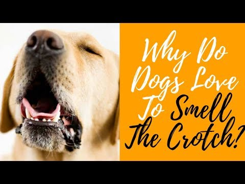 Why Do Dogs Love To Smell The Crotch?