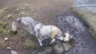 Wolfdog Welcome