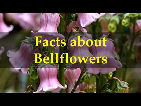 Facts about Bellflowers