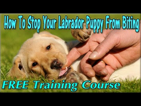 How To Stop a Lab Puppy From Biting ► FREE COURSE ◄ Train Labrador Not To Bite - Labrador Retriever