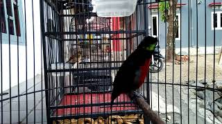 Kolibri Ninja Nagen 10 Menit Bongkar Isian Download Mp3 Mp4 3GP HD Video