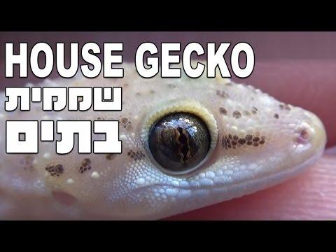 Mediterranean House Gecko (Hemidactylus turcicus) שממית בתים