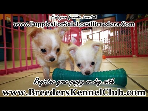 Long Hair Chihuahua Puppies For Sale In Ga Local Breeders Toy