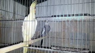 Rat Attack on My Birds in Urdu/Hindi - PakVim net HD Vdieos