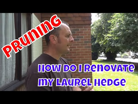How do I renovate my Laurel hedge - Pruning