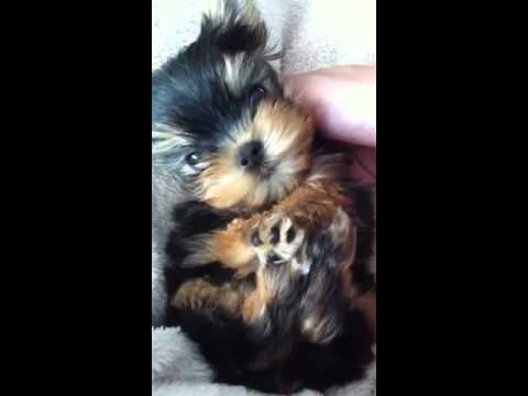 Puppy with kennel cough