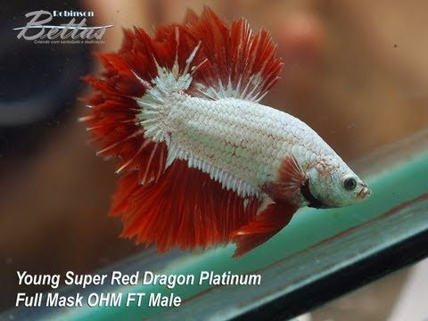 Betta Red Dragon Platinum Full Mask OHM Feather Tail Male