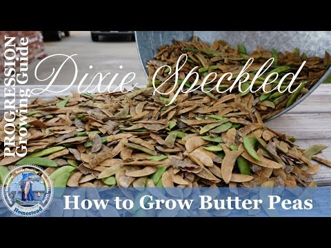 How to Grow Dixie Speckled Butterpeas