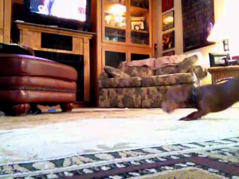 My dog, Holly, chasing a laser