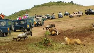 Gorilla vs Lion - Who Is The Boss?
