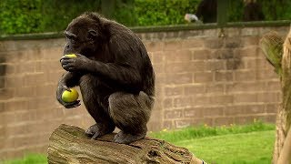 Trading with a Chimp | Extraordinary Animals | Series 2 | Earth