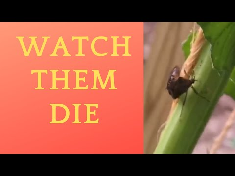 Watch dish soap and water kill stink bugs on our squash