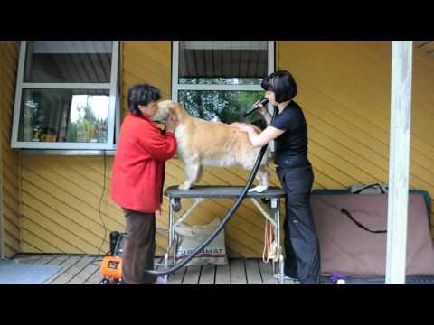 Golden retriever grooming/Груминг золотистого ретривера