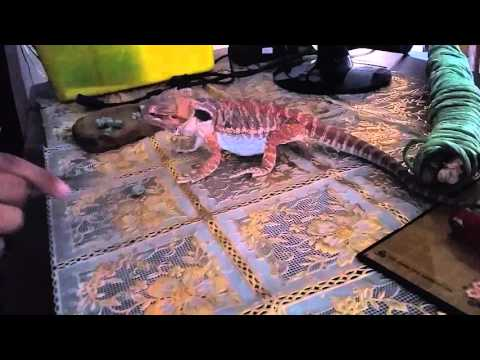 How to get bearded dragon to eat veggies