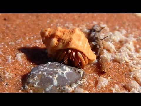 Tiny Hermit Crab Hiding In & Peeping Out From Shell - Broome Beach, Western Australia