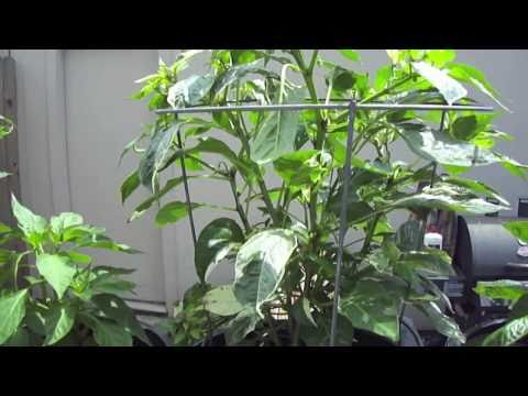 Urban Exotic Chili Peppers Victory Garden